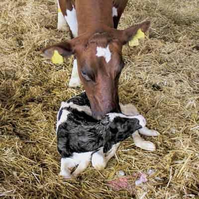 Dossier Verse koeien