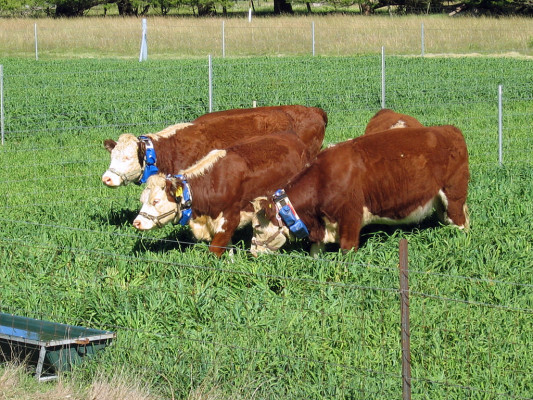 CSIRO_ScienceImage_10833_Cattle_wearing_virtual_fencing_collars