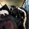 Hoe oud moet een koe worden?