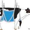 Vastliggende koe optillen